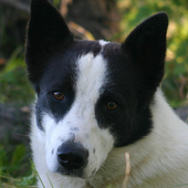 Canaan Dog Wallpapers icon