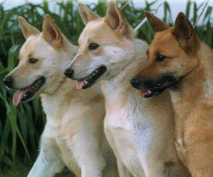 Canaan Dog Wallpapers apk screenshot
