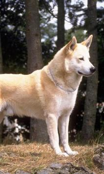 Canaan Dog Wallpapers poster