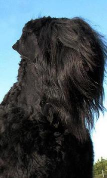 Black Russian Terriers Wallpap apk screenshot