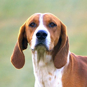 English Foxhound Wallpapers icon