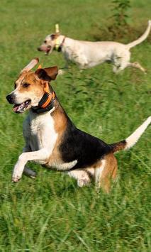 English Foxhound Wallpapers apk screenshot