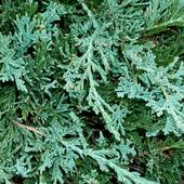 Juniperus Wallpaper icon