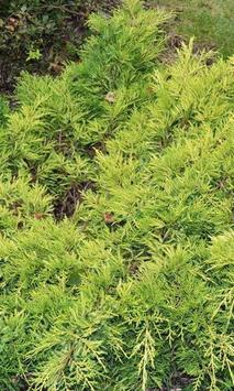 Juniperus Wallpaper poster