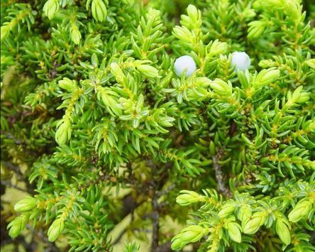 Juniperus Wallpaper screenshot 3