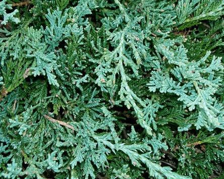 Juniperus Wallpaper screenshot 4