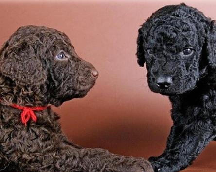 Curly Coated Retriever Jigsaw Puzzles apk screenshot