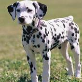 Dalmatian Jigsaw Puzzles icon