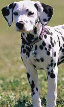 Dalmatian Jigsaw Puzzles screenshot 2