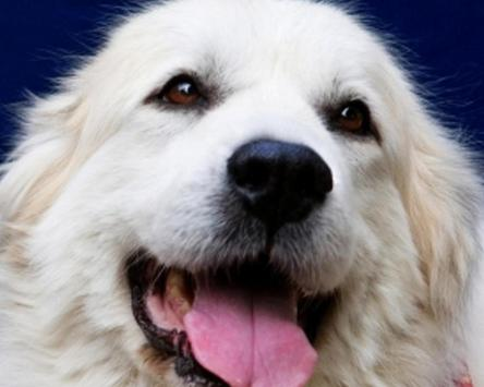 Great Pyrenees Jigsaw Puzzles screenshot 4
