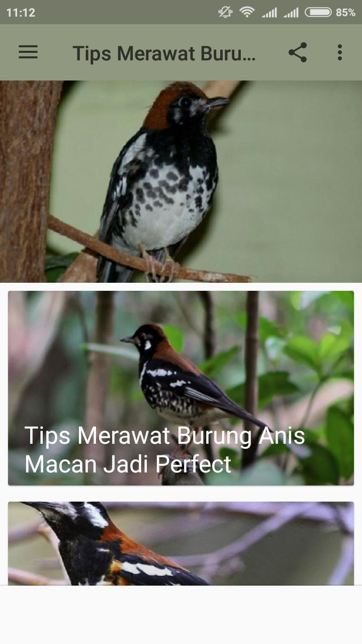 Tips Merawat Burung Anis Macan For Android Apk Download