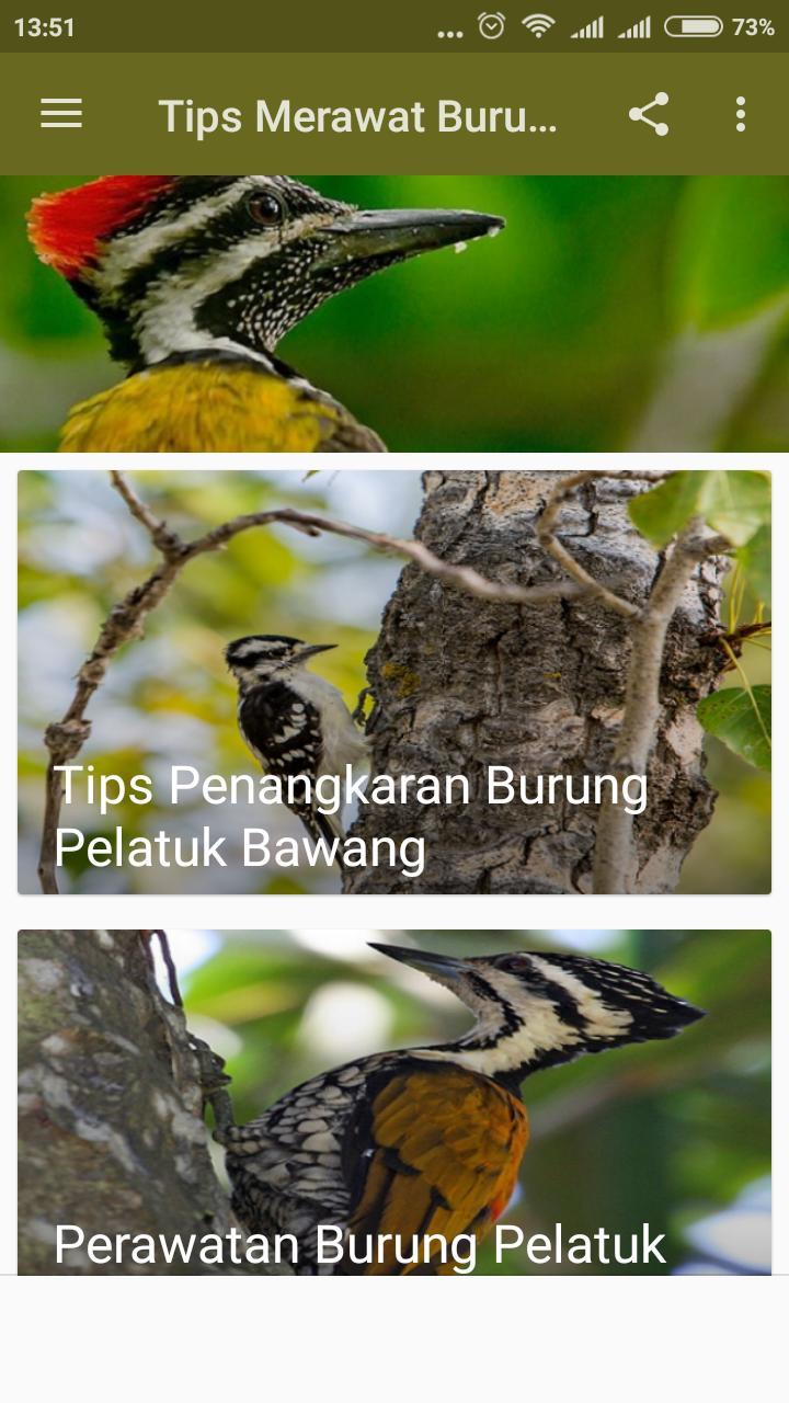 Tips Merawat Burung Pelatuk For Android Apk Download