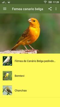 femea canario belga apk screenshot