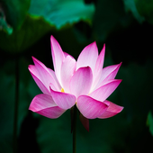 Lotus Wallpapers HD icon
