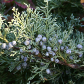 Juniper Flower Jigsaw Puzzles icon