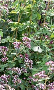 Marjoram Flower Jigsaw Puzzles apk screenshot