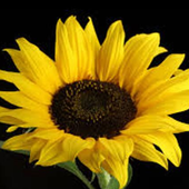 Sunflower Jigsaw Puzzles icon