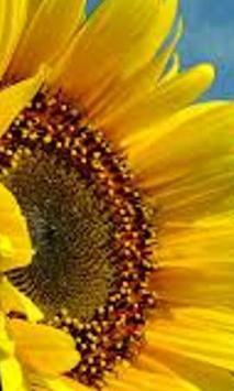 Sunflower Jigsaw Puzzles apk screenshot