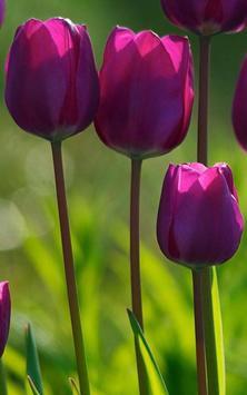 HD Purple Tulips Wallpaper Apk Screenshot
