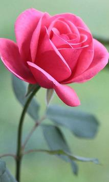 HD Rose Flowers Live Wallpaper Poster