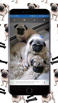Cute Pugs Wallpapers poster