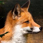 fox background icon