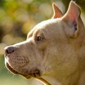 free pitbull live wallpaper icon