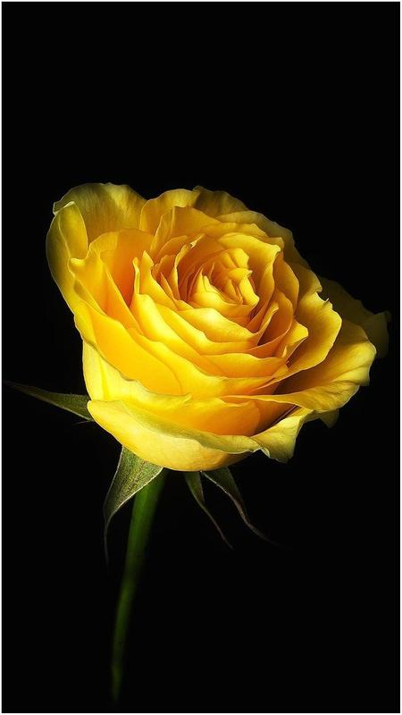Yellow Rose Hd Wallpapers For Android Apk Download