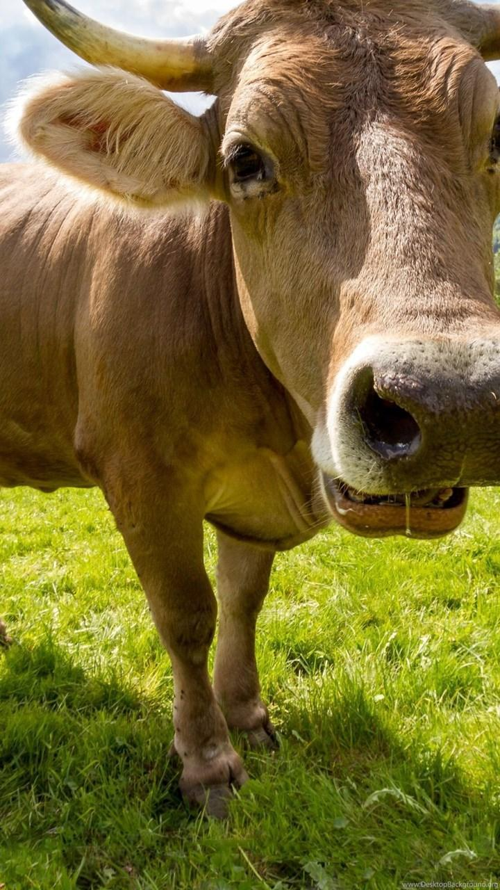 Cow Hd Wallpapers For Android Apk Download