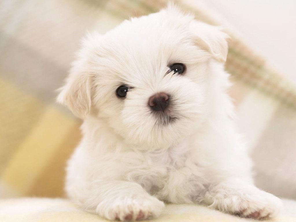 Cute Puppy Dog Hd For Android Apk Download