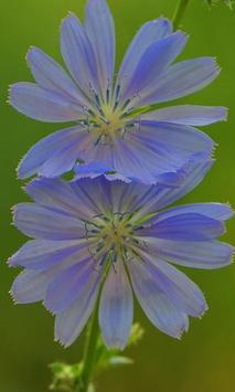 Chicory Wallpapers poster