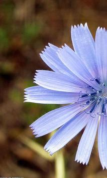 Chicory Wallpapers apk screenshot