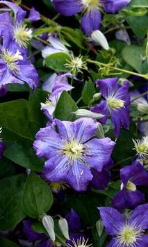 Clematis Wallpapers apk screenshot