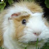 guinea pig wallpaper icon