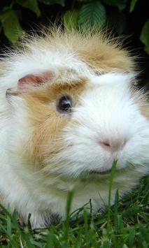 guinea pig wallpaper poster