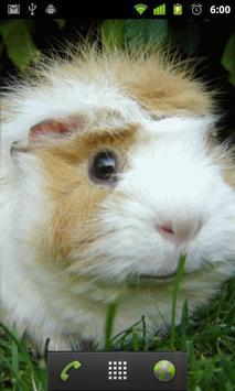 guinea pig wallpaper apk screenshot