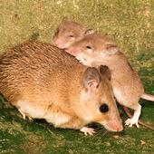 Mouse Family Sim icon