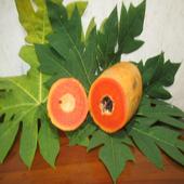 Khasiat daun dan buah pepaya icon