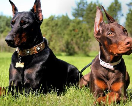 Dobermann Dogs New Jigsaw Puzzles screenshot 3