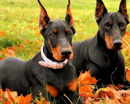 Dobermann Dogs New Jigsaw Puzzles screenshot 4