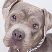 Pitbull Dogs New Funs Jigsaw Puzzles icon