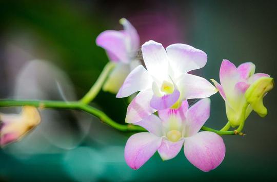 Orchide Glamour live wallpaper screenshot 13