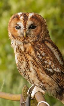 Owls HD live wallpaper poster