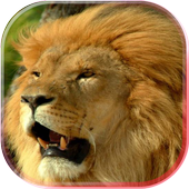 Lions African live wallpaper icon