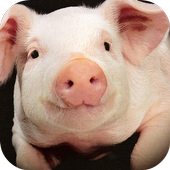 Pig Sounds Lite icon