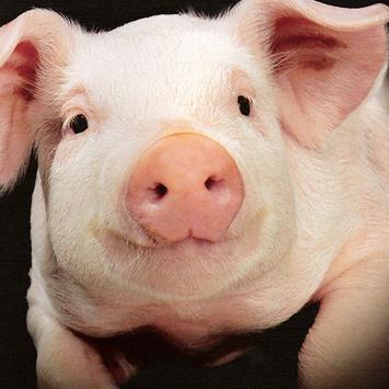 Pig Sounds Lite poster