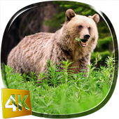 Bear 4K Live Wallpaper icon