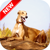 Greyhound Wallpapers icon