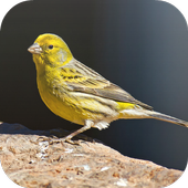 Suara Burung Kenari icon