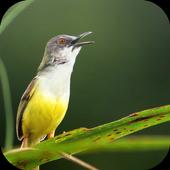 Suara Burung Prenjak icon